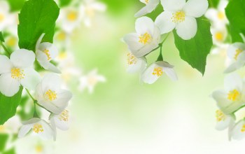 branch,жасмин,spring,Jasmine,freshness,White,beauty,Tender spirit,leaves
