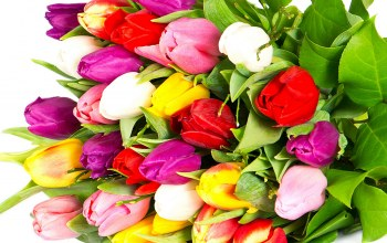 violet,beauty,tulips,petals,yellow,Red,varicoloured,bright,Bouquet,White