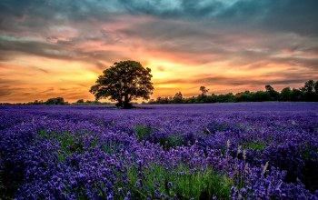 lavender,Sunset,scenery,field