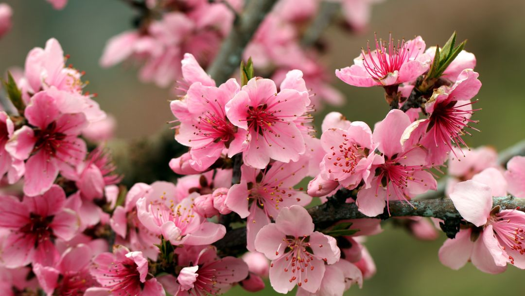 blossoms,tender,leaves,bright,spring,petals,branch,beauty,apple tree