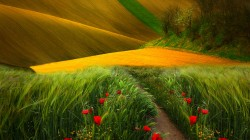 path,landscape,field,poppies,colors,view,grass,trees,scenery