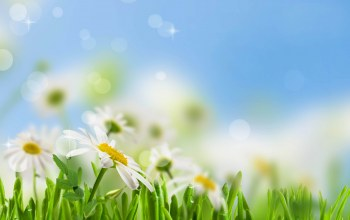 spring,Camomile,freshness,White,sky,leaves,beauty,dew,drops,grass,water