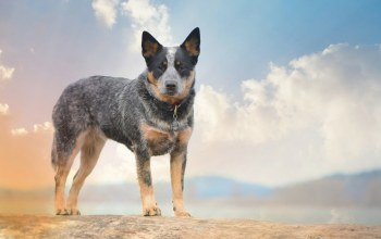 australian cattle dogs,Собака,друг