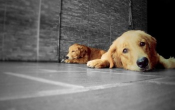 lp-photography,retriever,Animal,golden,animals,dogs,Golden retriever