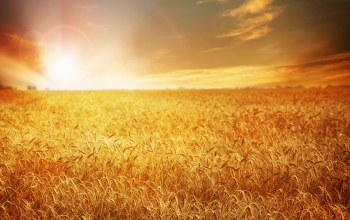 пшеница,field,Sunset,wheat