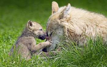 grass,Fox,wild,cub,mom