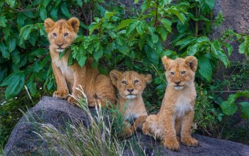 big cat,cubs,wild,tree