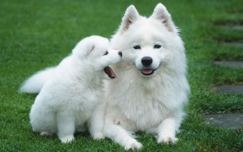 puppy,cute,samoyed,White