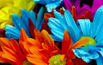Red,lactic,violet,water drops,orange,Bright colorful flowers