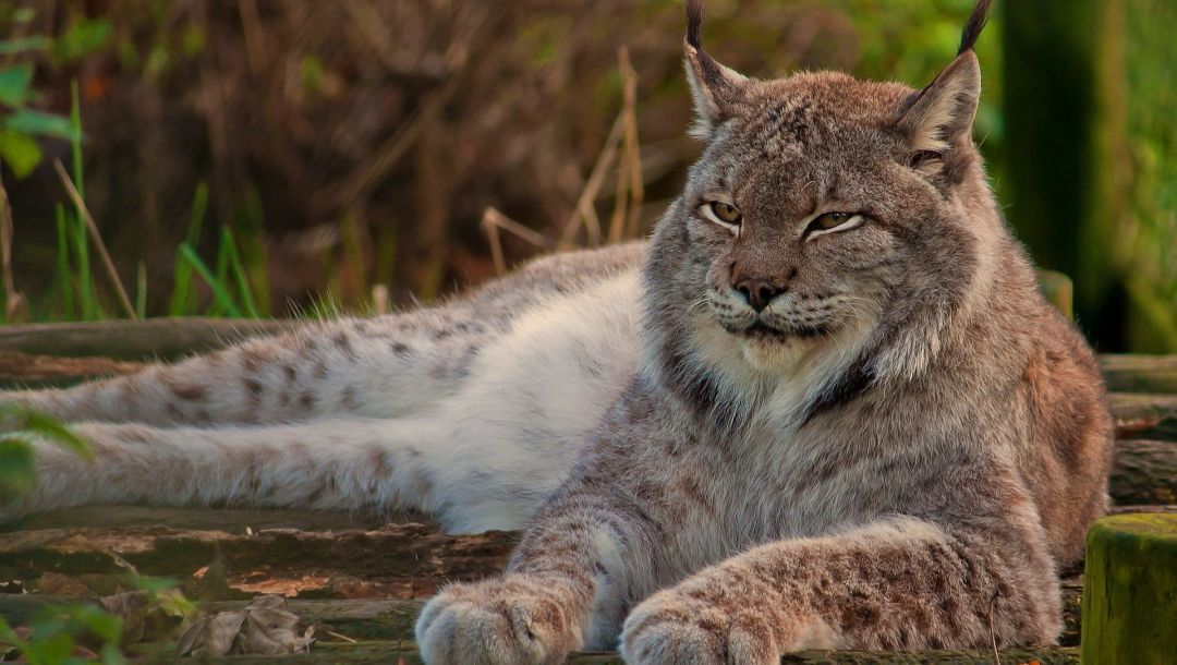 lynk,wild,Rest,forest