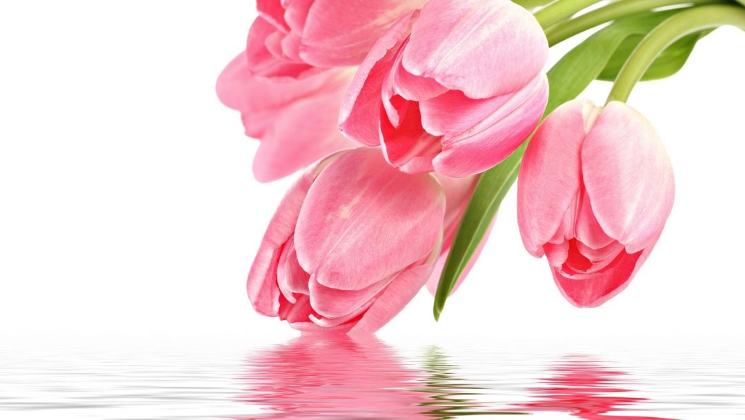 pink tulips,for you,tulip,With love,reflection,цветы