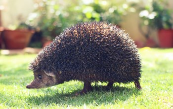 garden,Animal,spines,hedgehog,еж