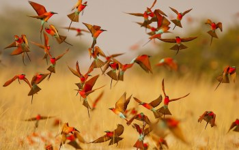Birds,lot,Carmine Bee-eater,bee-eater,pack