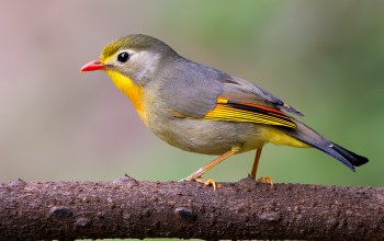 Leiothrix,Red-billed