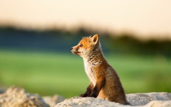 wild,lonely,rock,red fox