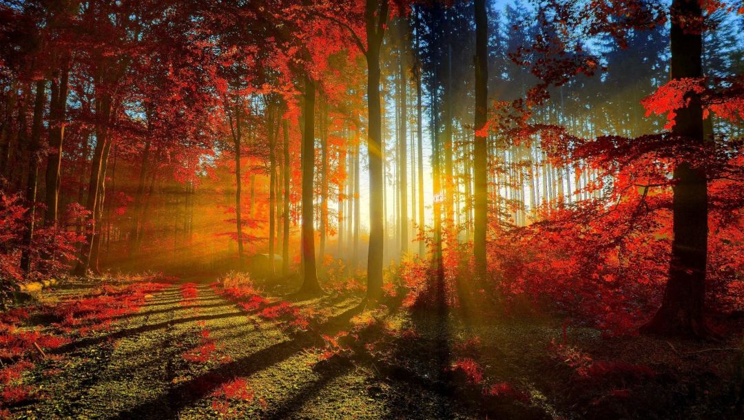 Red,leaves,sunlight,tree,autumn,path