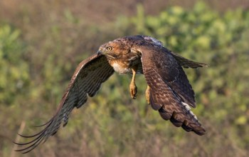 winds,fly,Hawk,wild,forest