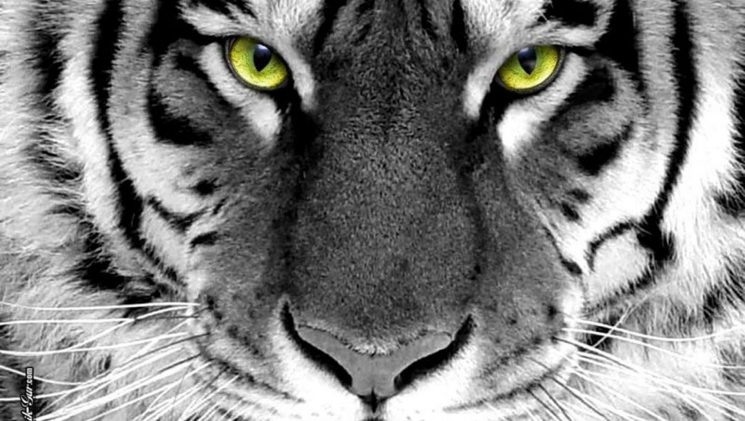 green eyes,wijd,White,Tiger,Face,whlte tiger