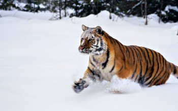 wild,Tiger,wildcat,jungle,snow