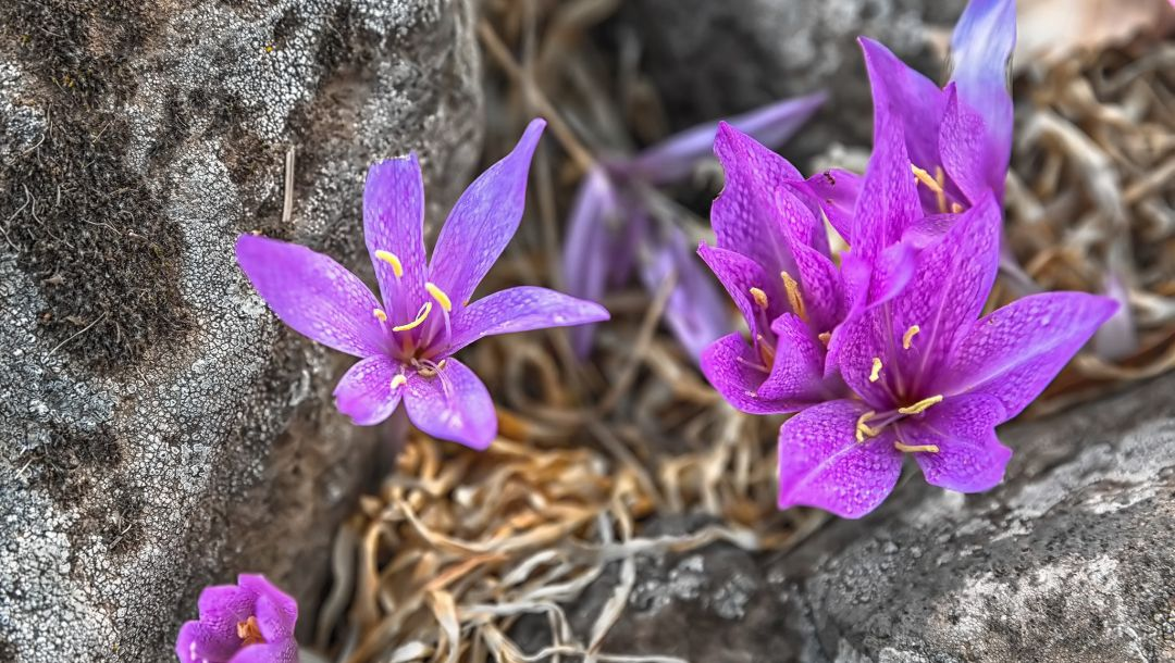 water,focus,leaves,small,ramat hagolan,israel,Saffron,drops,rain,cute,White,flower,amazing,Purple