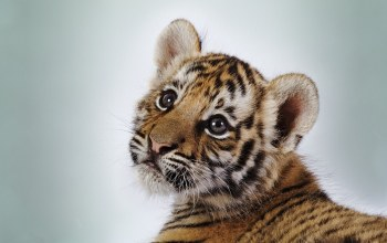cute,wild,Tiger,look,baby