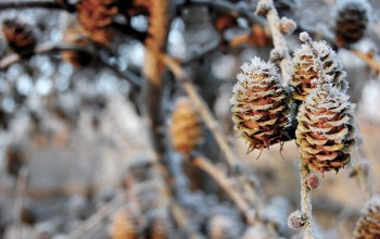 шишки,pinecones,winter