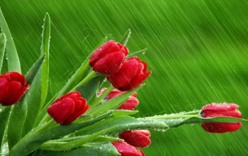 branch,tulips,rain,Red
