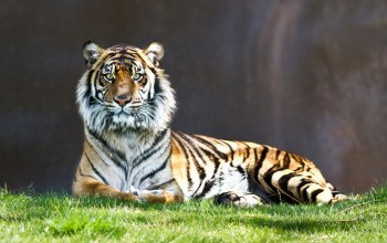 Tiger,tree,bigcat,wild,grass,Rest