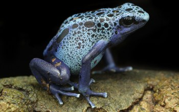 blue poison dart frogs,Blue Poison Arrow Frog,Frog