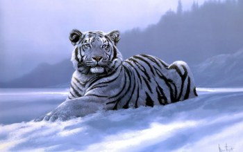 siberian tiger,Spencer hodge
