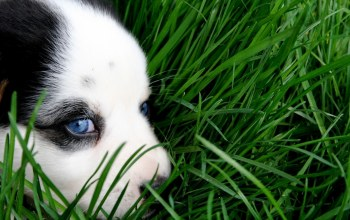 eyes,cute,sweet,husky,grass,puppy,Animal