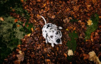 dalmata,cute,leaves
