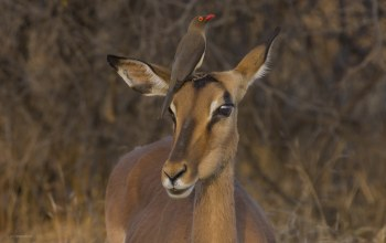 Kruger national park,Red-billed Oxpecker,impala,south africa