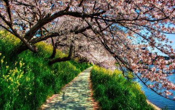 blossom,path,tree,riverside