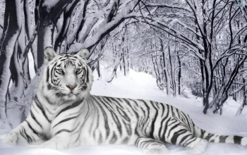 forest,snow,White,bigcat,wainter,wild,Tiger
