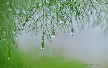 plant,branch,Yoko okamoto,drops of water,asparagus