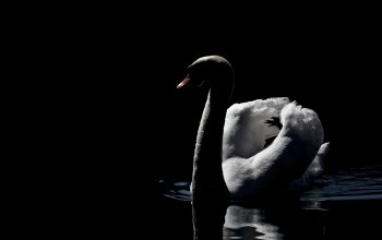 MMaglica photo,dark,beautiful,peaceful,MMaglica,photo,swan