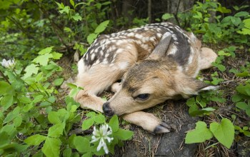 Newborn Fawn,Siuslaw National Forest