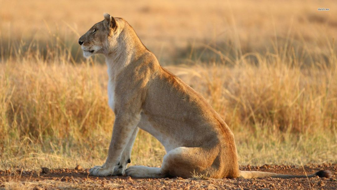 grass,lioness,wild,lonely
