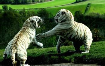Tiger,fight,White,bigcat
