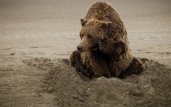 noth america,animals,sand,Brown bear