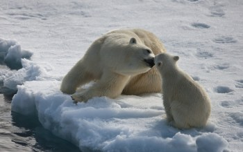 cub,mother,polar,ice