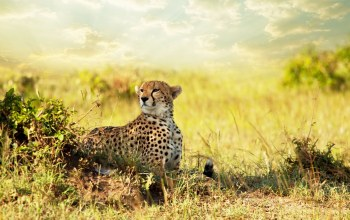 cheetah,savanna,Хищник,африка