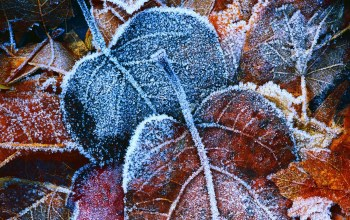 frosted,leaves,snow,winter