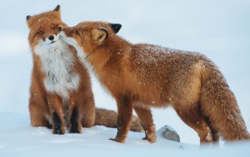 snow,forest,winter,red fox