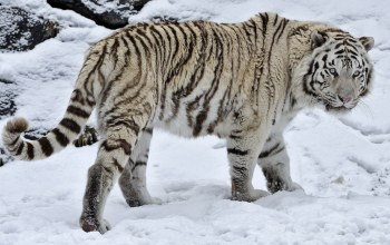 bigcat,wild,snow,forest,winter,White,Tiger