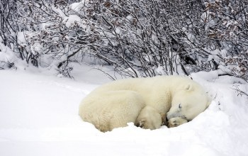 wild,snow,dream,cub,polar