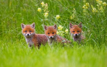 cub,grass,forest,Fox