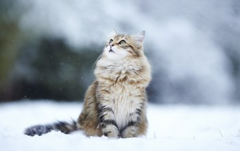 Kitty,snow,Кошка,winter,cat