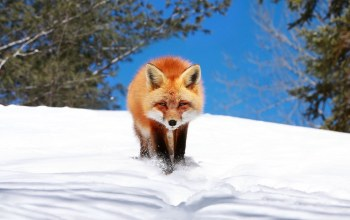 Fox,winter,Red,snow